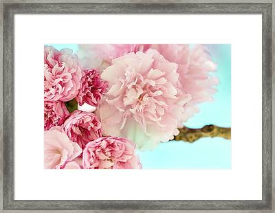 Kwanzan Cherry Framed Print