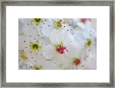 Framed Print featuring the photograph Cherry Blooms by Darren White