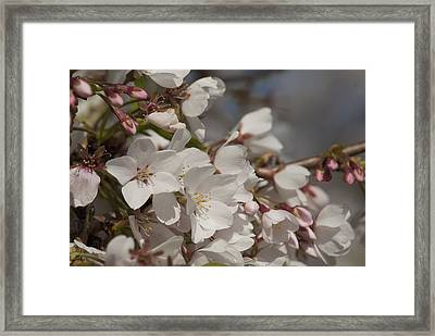 Framed Print featuring the photograph Cherry Blossom 1 by Lisa Missenda