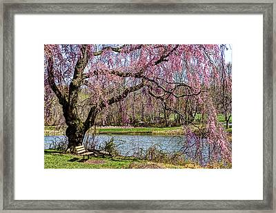 Cherry Blossom And Bench  Framed Print by Geraldine Scull