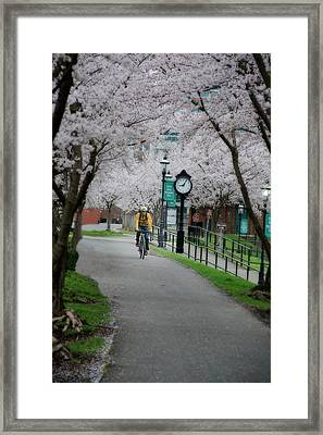 Cherry Blossom Blooming  Framed Print by Dan Friend