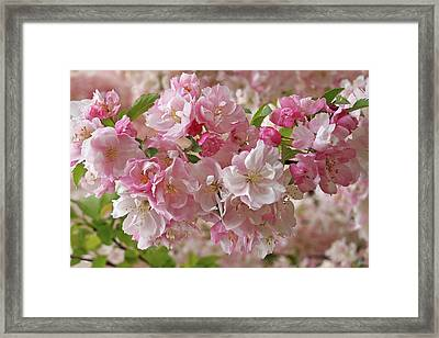 Framed Print featuring the photograph Cherry Blossom Closeup by Gill Billington