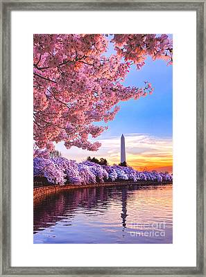 Cherry Blossom Festival  Framed Print by Olivier Le Queinec