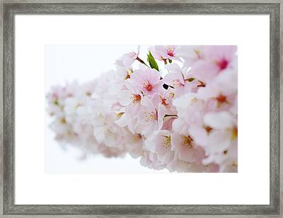 Cherry Blossom Focus Framed Print