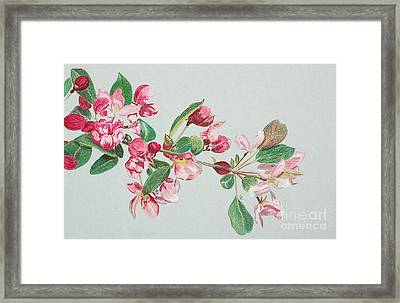 Cherry Blossom Framed Print by Glenda Zuckerman
