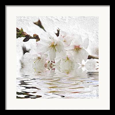 Cherry Blossoms Photographs Framed Prints