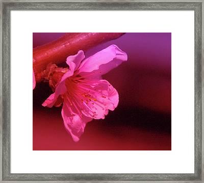 Cherry Blossom Framed Print by Jeff Swan