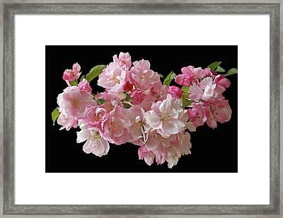 Cherry Blossom On Black Framed Print by Gill Billington