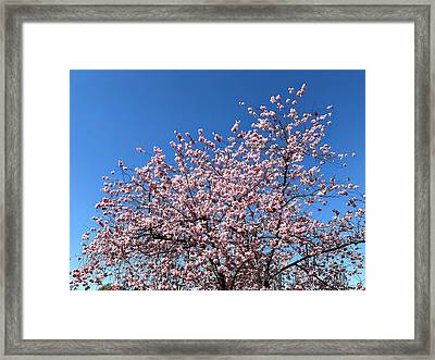 Cherry Blossom Pink And Blue Spring Colors Framed Print