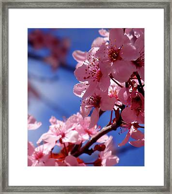 Cherry Blossom Framed Print by Rona Black