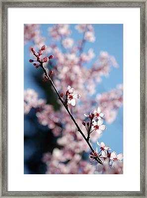 Cherry Blossom Framed Print by Samantha Kimble