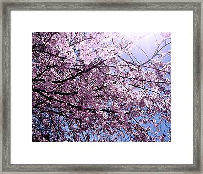Cherry Blossom Season Framed Print by Ariane Moshayedi