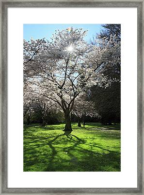 Cherry Blossom Sunshine Framed Print by Pierre Leclerc Photography