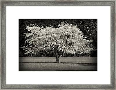 Cherry Blossom Tree - Ocean County Park Framed Print