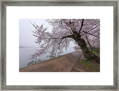 Cherry Blossom Tree In Fog Framed Print