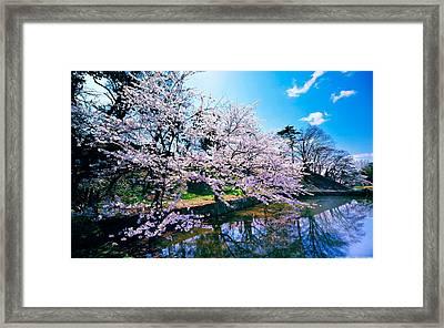 Cherry Blossom Trees Framed Print
