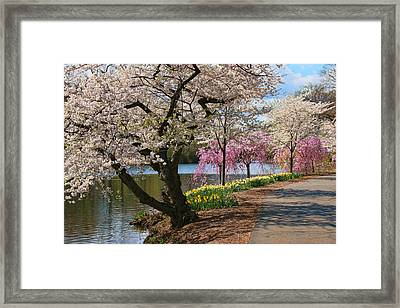 Cherry Blossom Trees Of Branch Brook Park 17 Framed Print