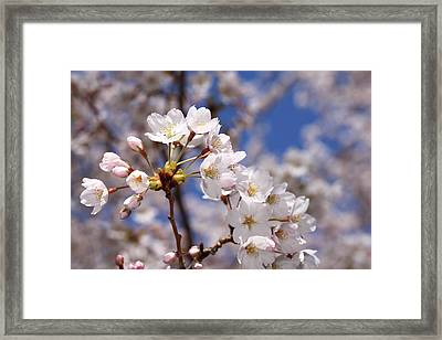 Framed Print featuring the photograph Cherry Blossoms - B by Anthony Rego