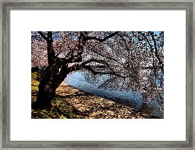 Cherry Blossoms - Washington Dc Framed Print by Wayne Higgs