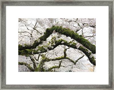 Cherry Blossoms 104 Framed Print
