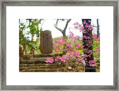 Cherry Blossoms 11 Framed Print
