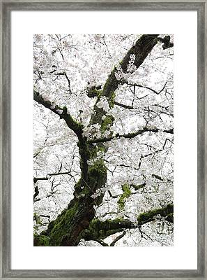 Framed Print featuring the photograph Cherry Blossoms 119 by Peter Simmons