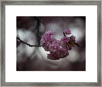 Cherry Blossoms 3 Framed Print by Robert Ullmann