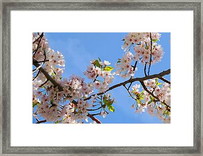 Cherry Blossom Trees Of Branch Brook Park 6 Framed Print