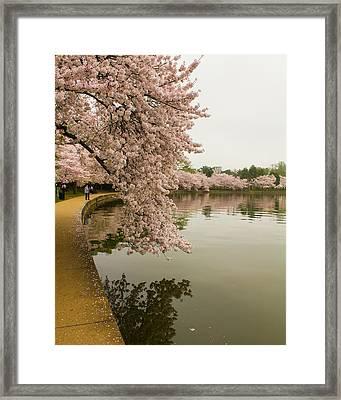 Cherry Blossoms Along The Tidal Basin 8x10 Framed Print