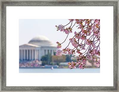 Cherry Blossoms And Jefferson Memorial Framed Print