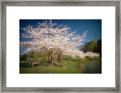 Cherry Blossoms At Meadowlark Two Framed Print by Susan Isakson