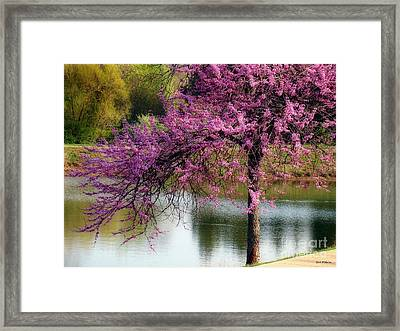 Cherry Blossoms By The Pond Framed Print by Sue Melvin