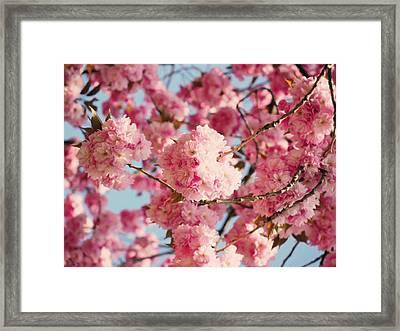 Cherry Blossoms Galore Framed Print