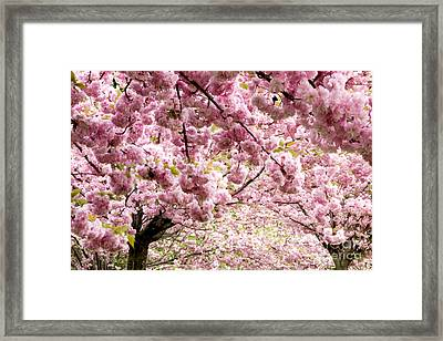 Cherry Blossoms In Milan Italy Framed Print by Julia Hiebaum