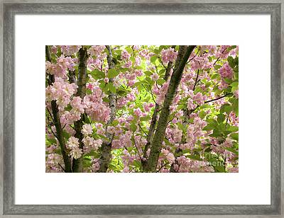 Cherry Blossoms In Spring, Milan, Italy Framed Print