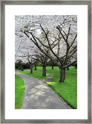Cherry Blossoms In Stanley Park Vancouver Framed Print by Pierre Leclerc Photography