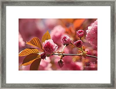 Cherry Blossoms Framed Print by Judy Palkimas