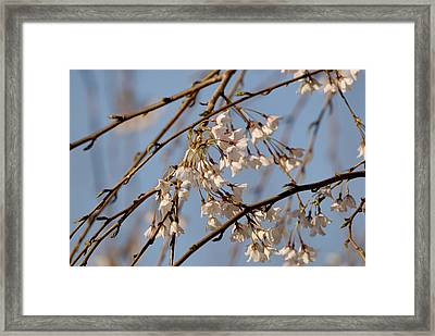 Cherry Blossoms Framed Print by Julie Niemela