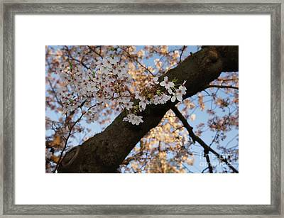 Cherry Blossoms Framed Print by Megan Cohen