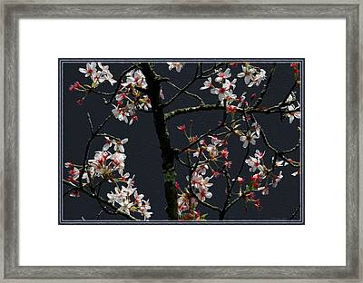 Cherry Blossoms On Dark Bkgrd Framed Print