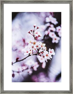 Framed Print featuring the photograph Cherry Blossoms by Parker Cunningham