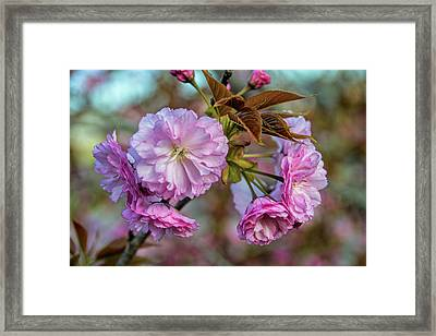 Cherry Blossoms Framed Print by Pat Cook