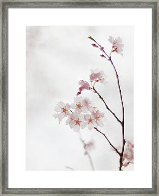Cherry Blossoms Framed Print by Polotan