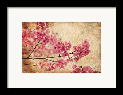 Cherry Blossoms Framed Prints