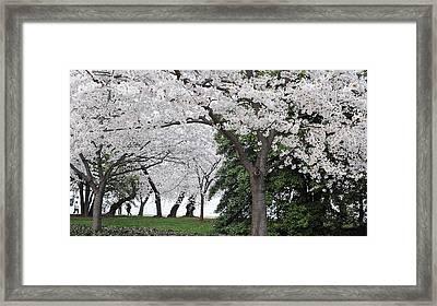 Cherry Blossoms Washington Dc Framed Print by Steve Archbold