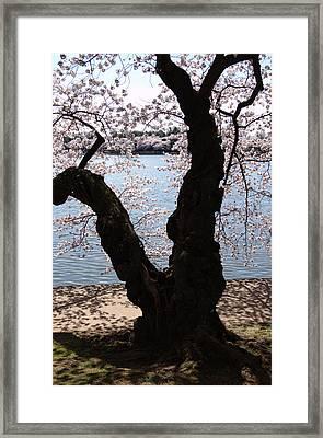 Cherry Blossoms Washington Dc Framed Print by Wayne Higgs