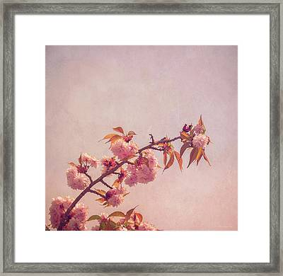 Cherry Blossoms Framed Print by Wim Lanclus