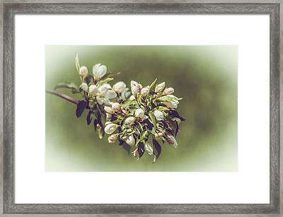 Cherry Blossoms Framed Print by Yeates Photography