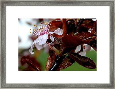 Cherry Crown Framed Print by Toni Jackson