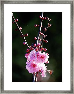 Framed Print featuring the photograph Cherry Green by Nicholas Blackwell